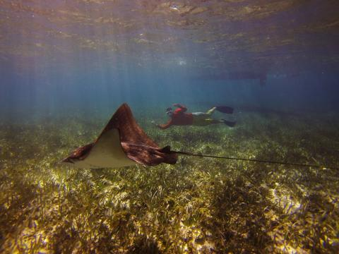 Swim With Sting Ray