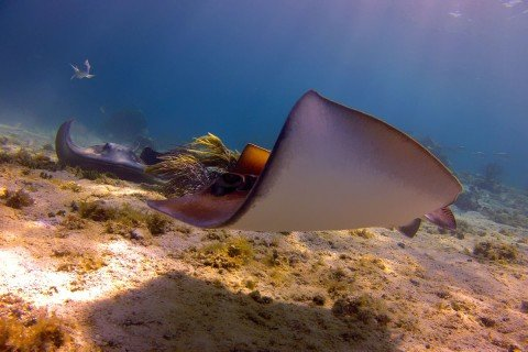 Southern Stingrays at Hol Chan Marine Reserve