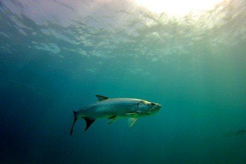 Majestic Tarpon in the Deep