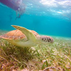 Sea Turtle – Belize Pro Dive Center