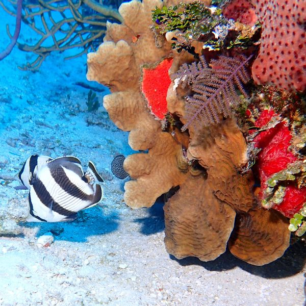 Corals At Turneffe