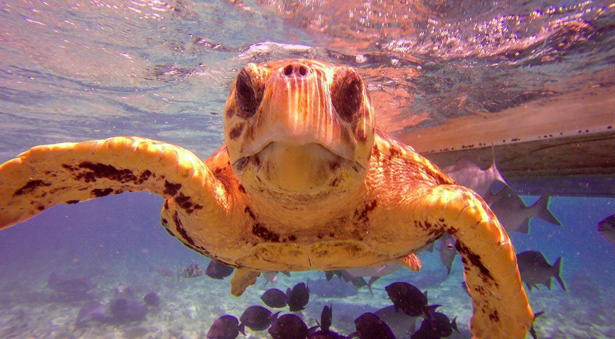 Hol Chan - Loggerhead Turtle