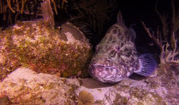 Night Diving, Ambergris Caye