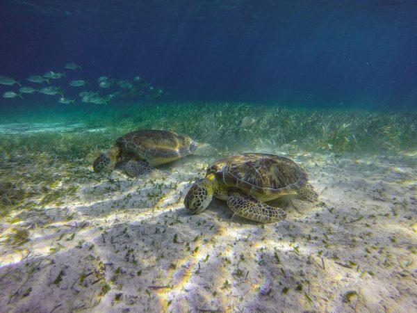 Turtles Eating at Hol Chan Marine Reserve