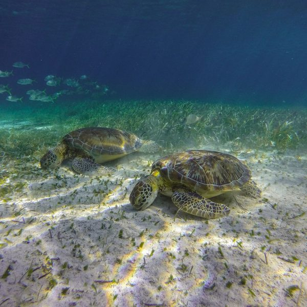 Turtles Eating at Hol Chan Marine Reserve