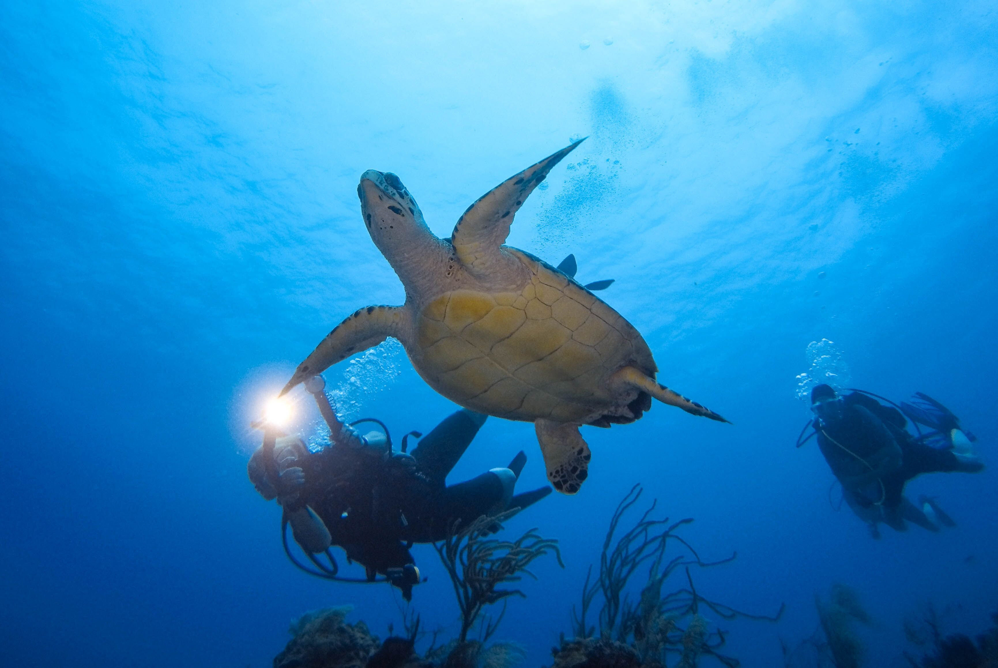 Scuba Divers Swimming With Turtle