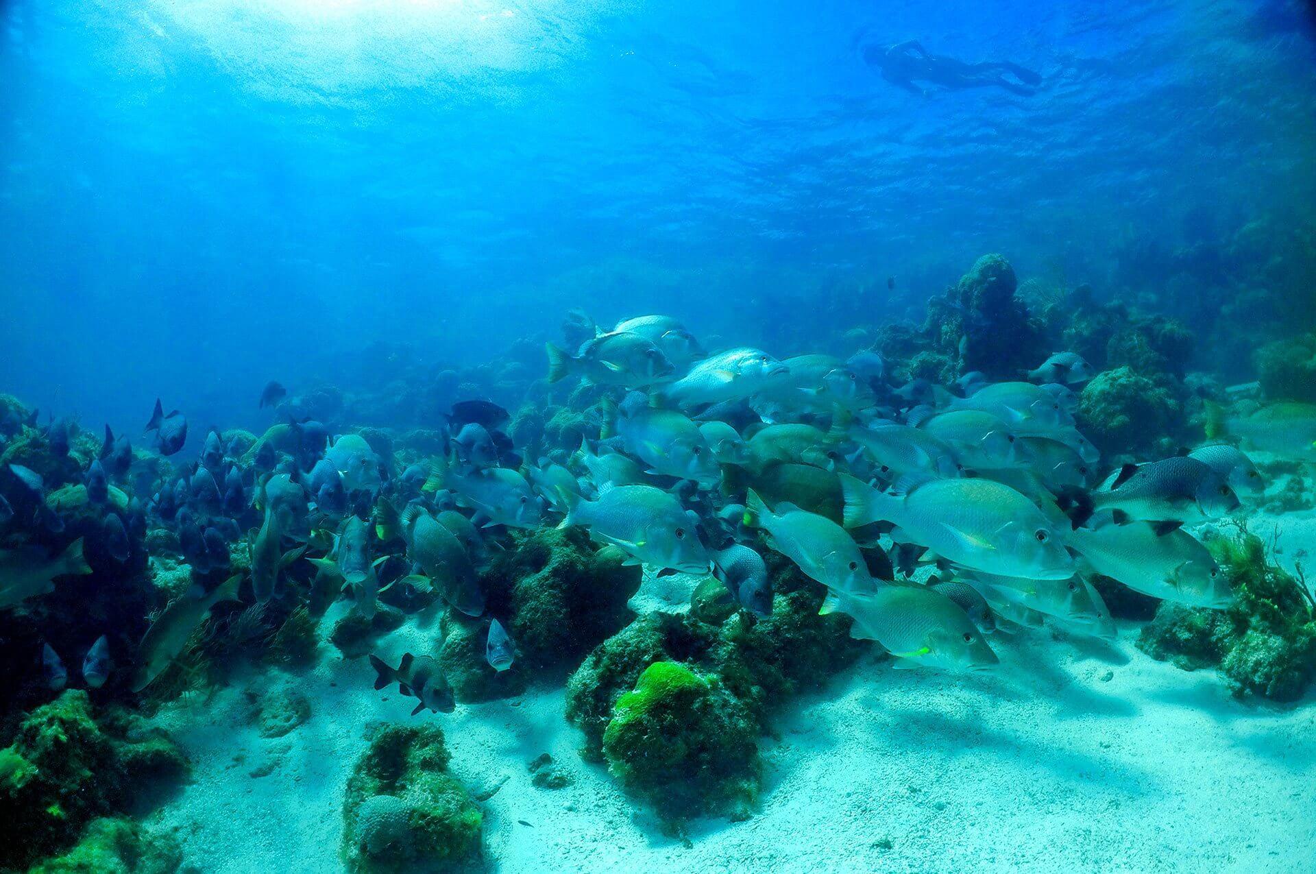 Hol Chan Marine Reserve School of Fish