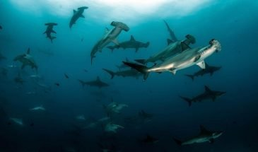 Shark Conservation - PADI Specialty Course