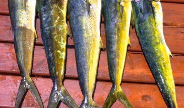 Deep Sea Fishing - 5 Dorados